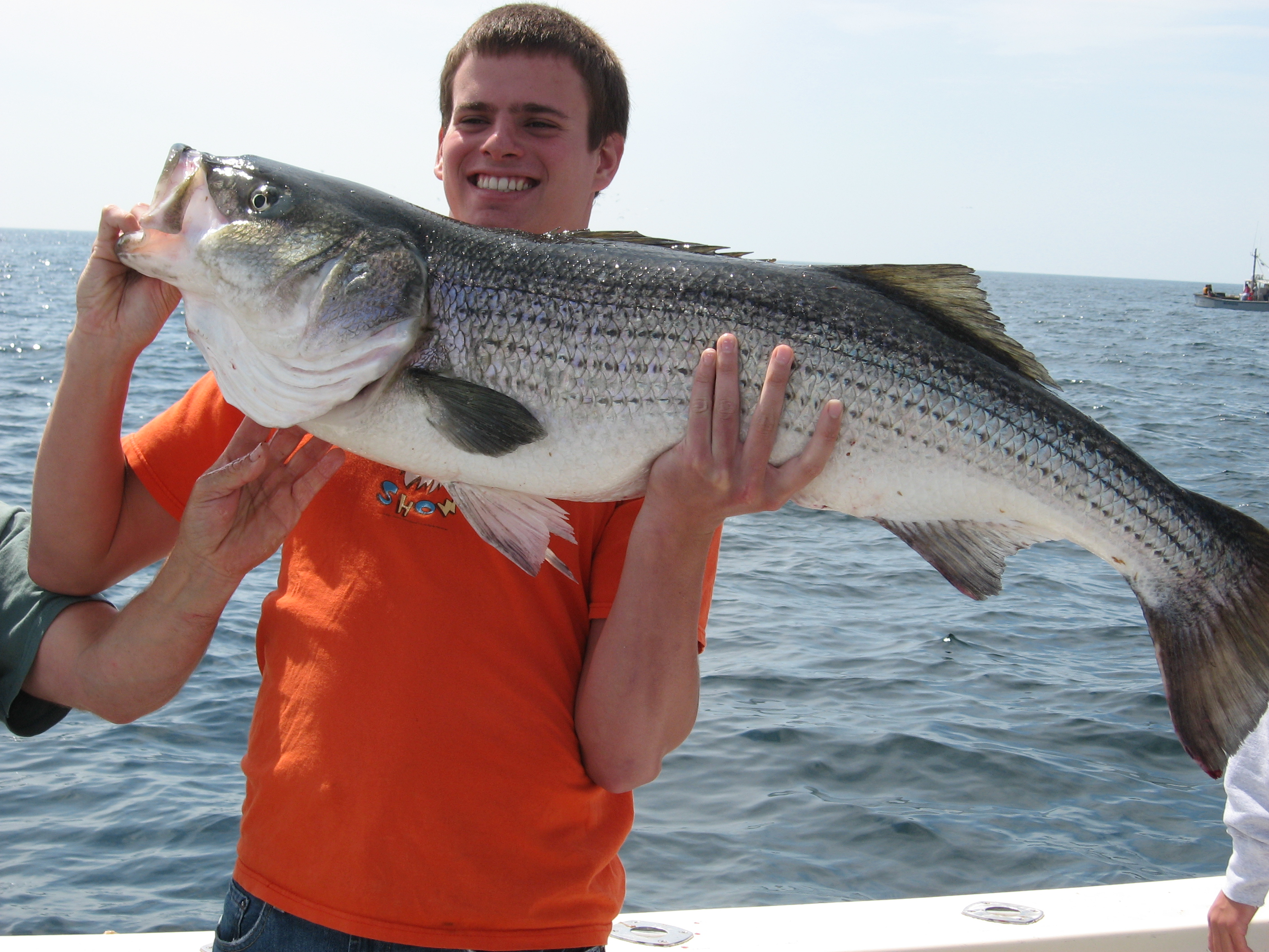 Striped bass striper fishing charters gloucester for Striper fish pictures